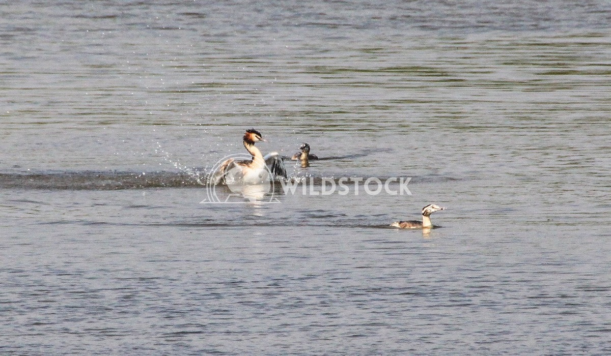 Dancing Crested Grebe Damon Yeh