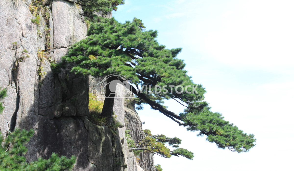 Mountain Forest Damon Yeh Huangshan
