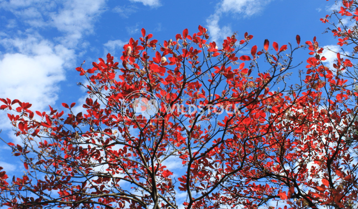 Red leaves Damon Yeh Huang Shan