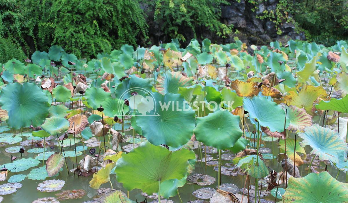 Lilies Damon Yeh