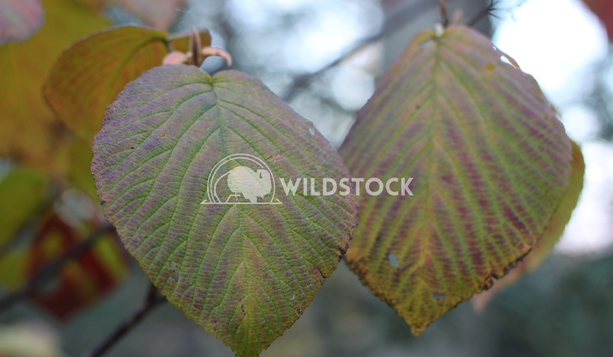 Birch Leaves Damon Yeh