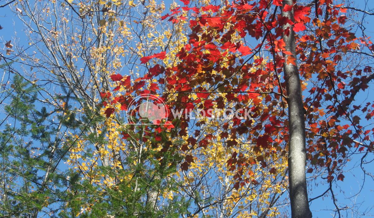 Fall Foliage Damon Yeh