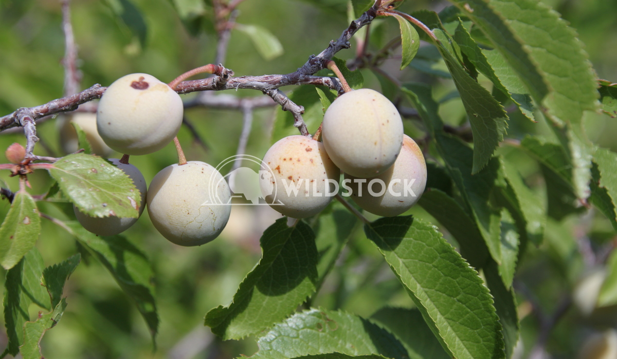 Fruiting tree Damon Yeh