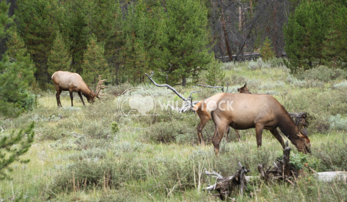 Elks passing by Damon Yeh