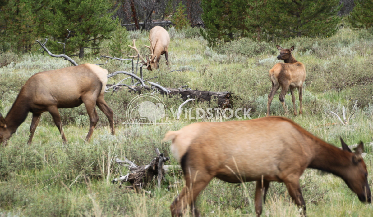 Elk Herd Damon Yeh