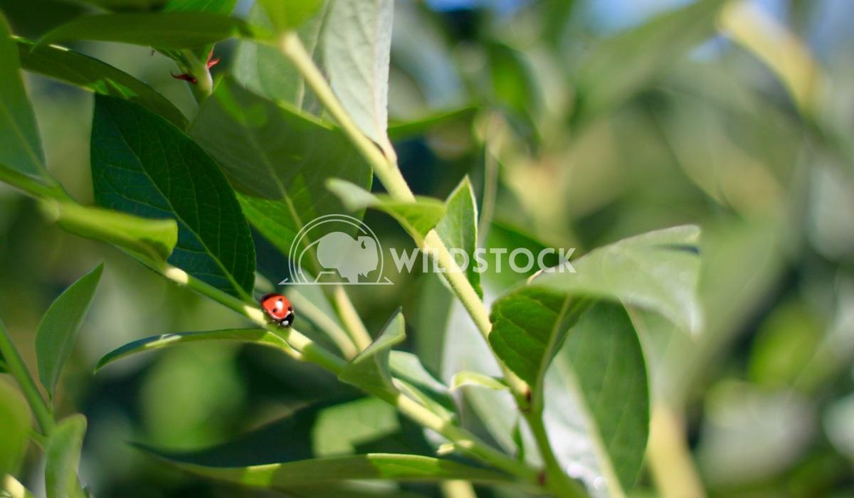 Ladybug Damon Yeh