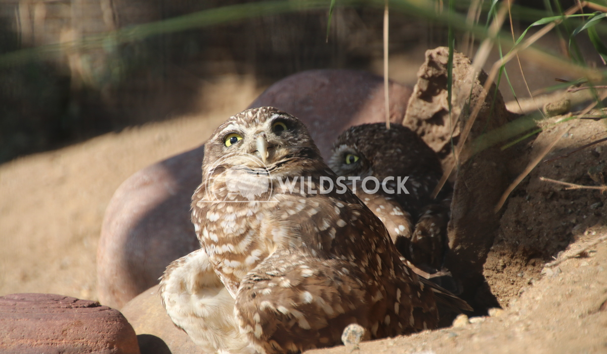 Burrowing Owls Damon Yeh