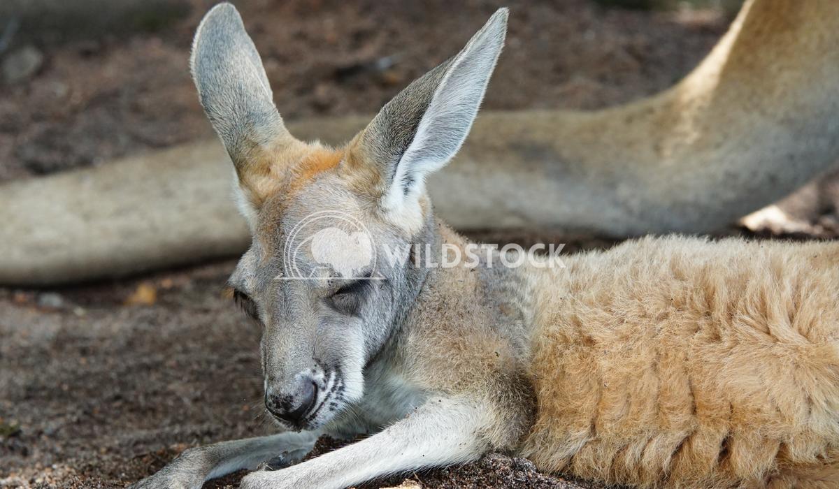Red Kangaroo, Macropus rufus 1 Alexander Ludwig Red Kangaroo, Macropus rufus, photo was taken in Australia