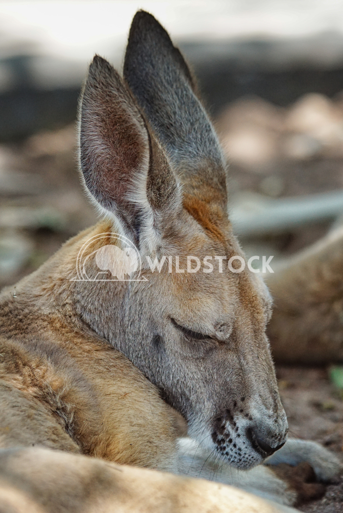 Red Kangaroo, Macropus rufus 3 Alexander Ludwig Red Kangaroo, Macropus rufus, photo was taken in Australia