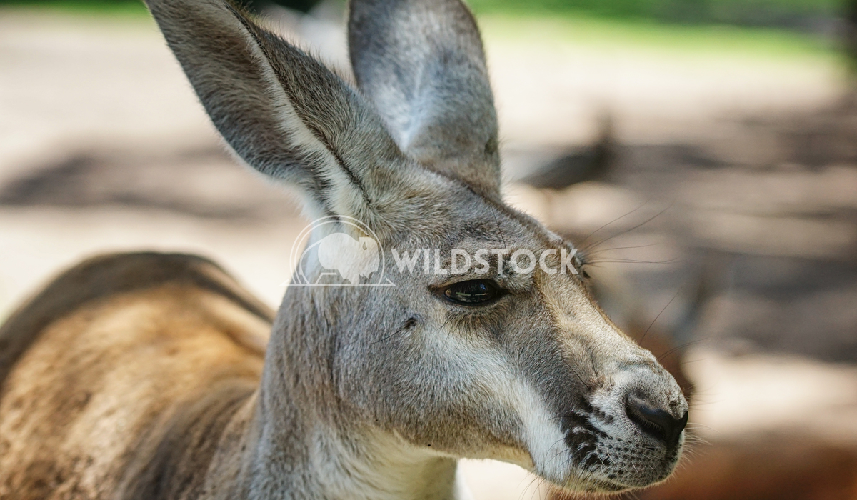 Red Kangaroo, Macropus rufus 5 Alexander Ludwig Red Kangaroo, Macropus rufus, photo was taken in Australia