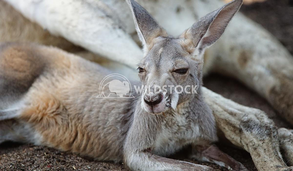 Red Kangaroo, Macropus rufus 7 Alexander Ludwig Red Kangaroo, Macropus rufus, photo was taken in Australia