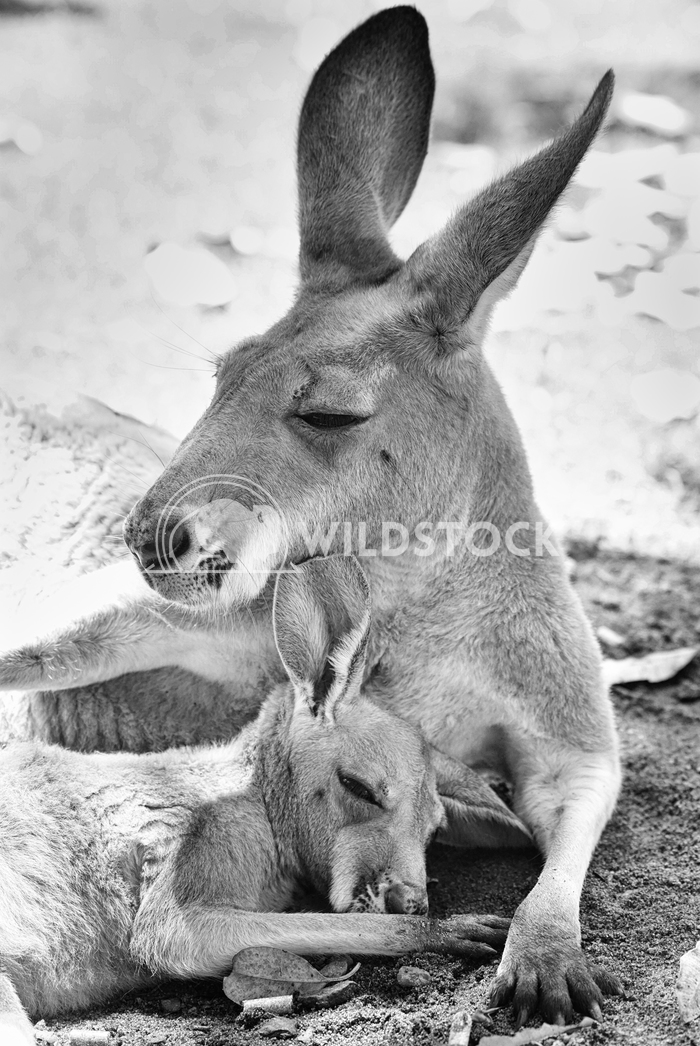 Red Kangaroo, Macropus rufus 8 Alexander Ludwig Red Kangaroo, Macropus rufus, photo was taken in Australia
