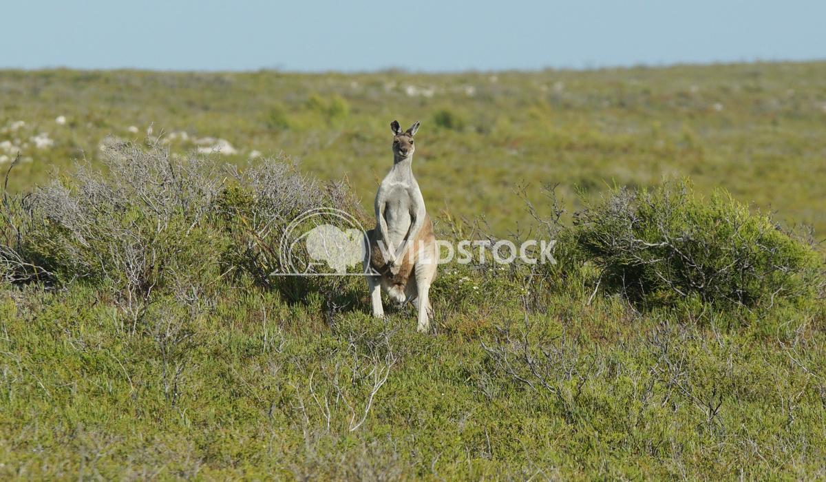 Red Kangaroo, Macropus rufus 9 Alexander Ludwig Red Kangaroo, Macropus rufus, photo was taken in Australia