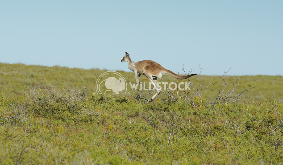 Red Kangaroo, Macropus rufus 11 Alexander Ludwig Red Kangaroo, Macropus rufus, photo was taken in Australia