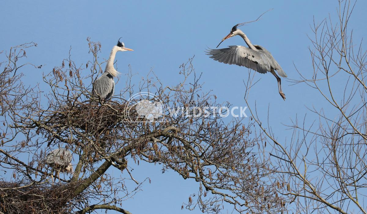 Nesting Herons 1 Jane Hewitt Nesting herons in tree