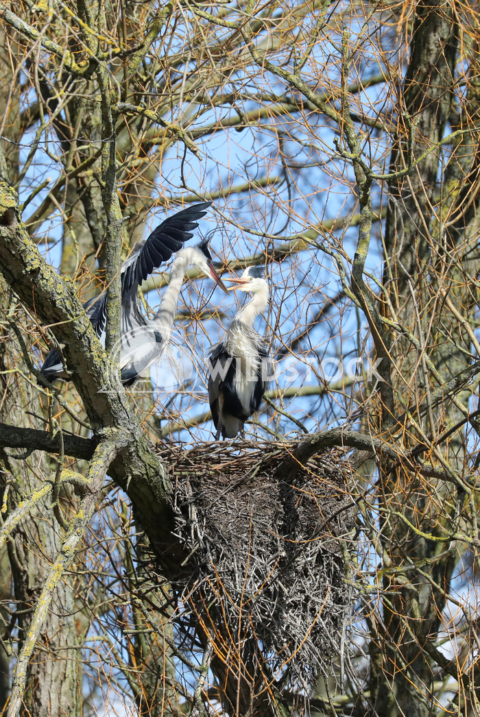 Nesting herons 2 Jane Hewitt A pair of nesting herons in a tree