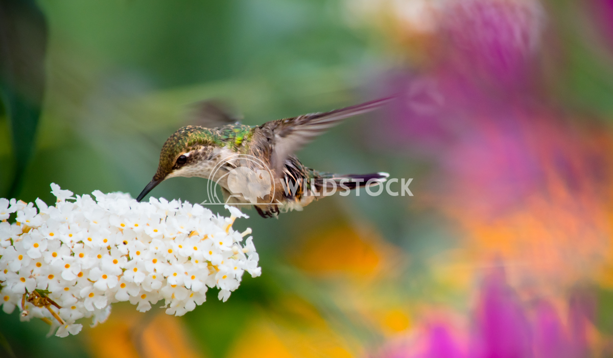 Rainbow hummingbird Angelle Holmes The flowers in this picture make a rainbow of colours for this beautiful hummingbird