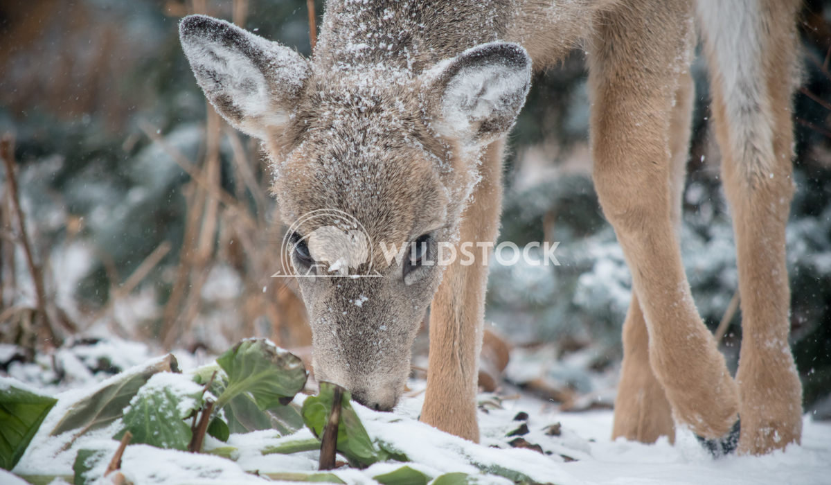 Snacking deer in Manitoba Angelle Holmes A beautiful deer is taking a snack on this bushes in Manitoba Canada
