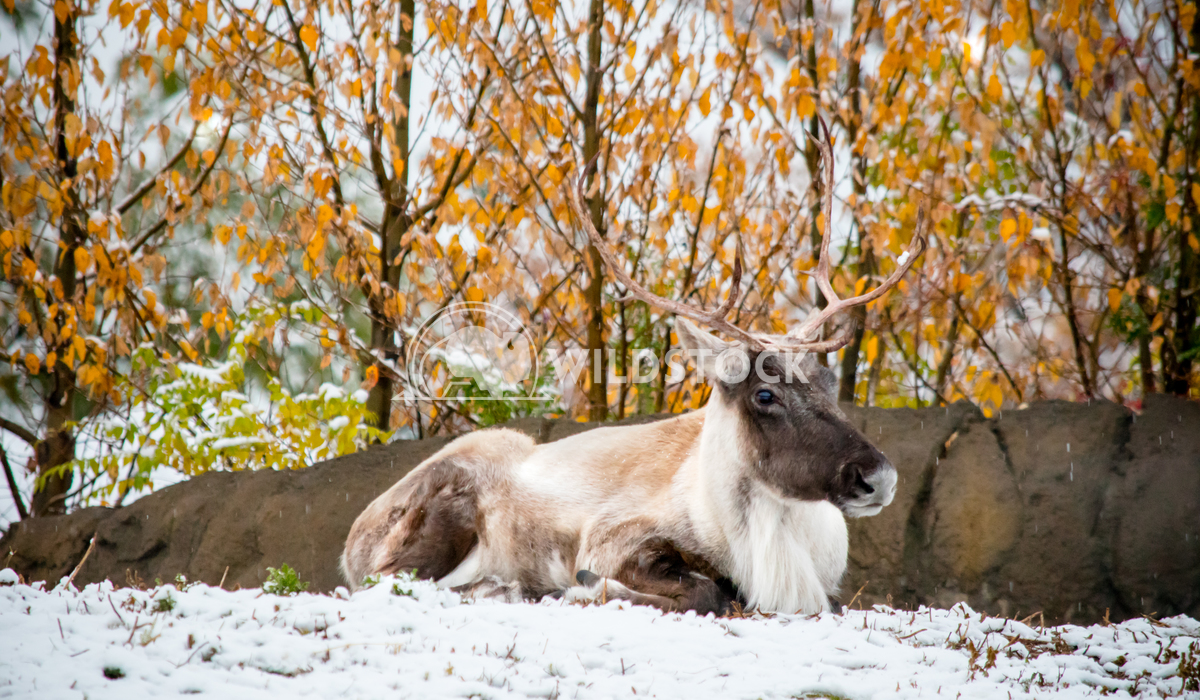Male deer in late autumn Angelle Holmes A beautiful male deer sits in the November snow in Manitoba Canada