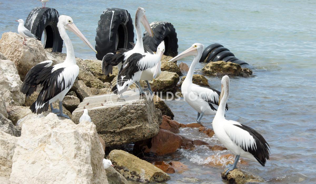 Australian Pelican (Pelecanus conspicillatus) 1 Alexander Ludwig Australian Pelican (Pelecanus conspicillatus), photo wa