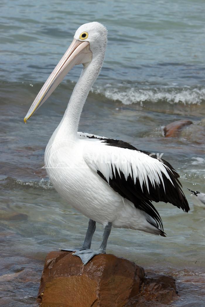 Australian Pelican (Pelecanus conspicillatus) 2 Alexander Ludwig Australian Pelican (Pelecanus conspicillatus), photo wa