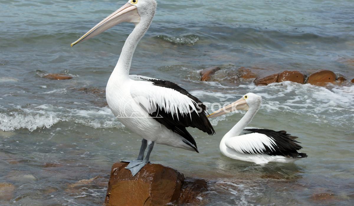 Australian Pelican (Pelecanus conspicillatus) 3 Alexander Ludwig Australian Pelican (Pelecanus conspicillatus), photo wa