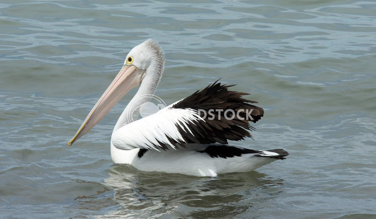 Australian Pelican (Pelecanus conspicillatus) 4 Alexander Ludwig Australian Pelican (Pelecanus conspicillatus), photo wa