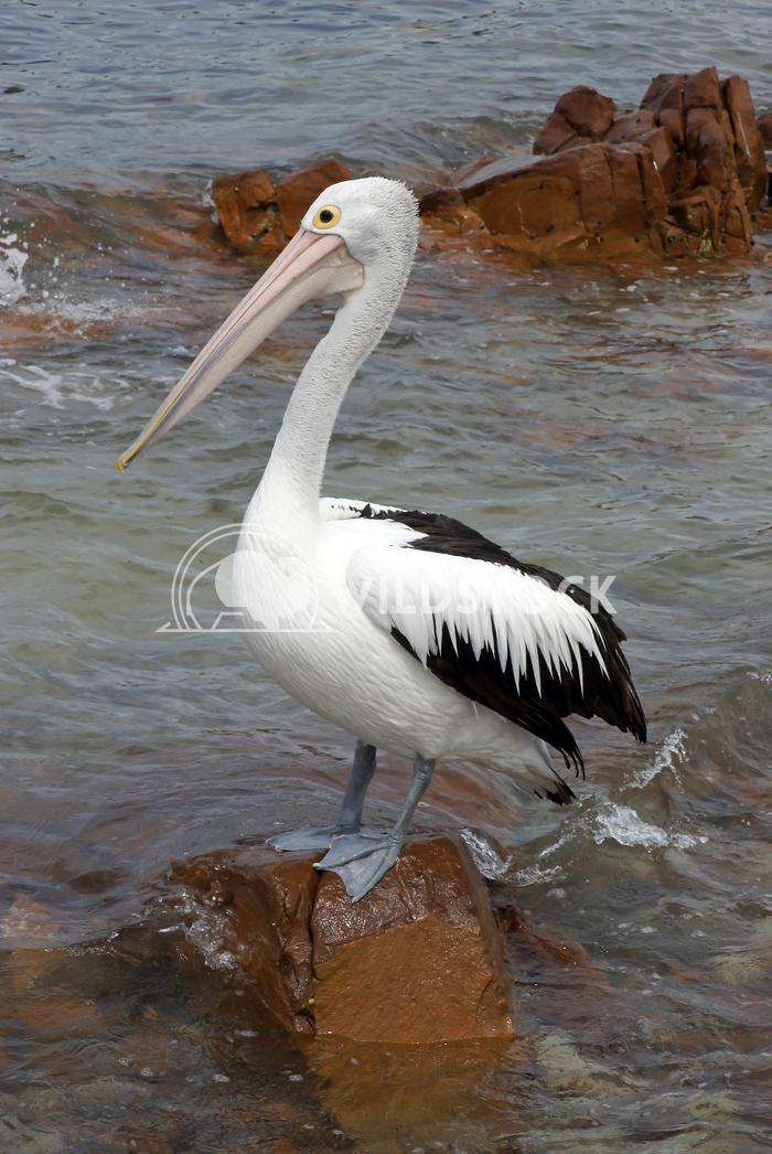 Australian Pelican (Pelecanus conspicillatus) 5 Alexander Ludwig Australian Pelican (Pelecanus conspicillatus), photo wa