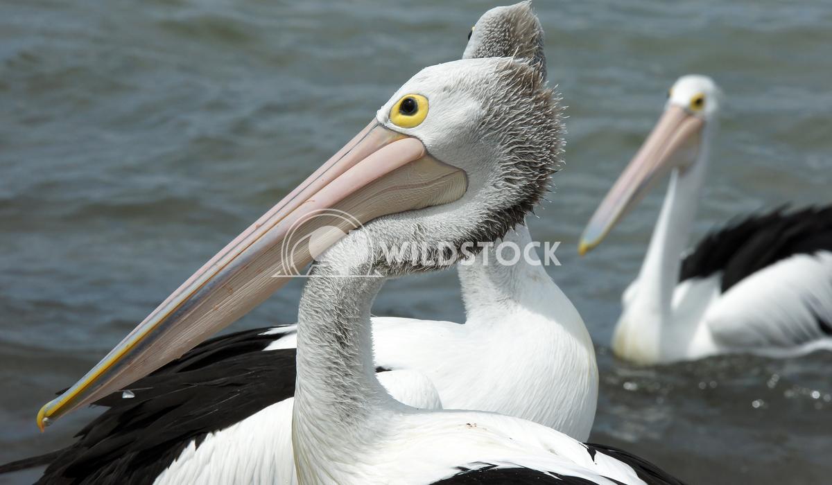 Australian Pelican (Pelecanus conspicillatus) 6 Alexander Ludwig Australian Pelican (Pelecanus conspicillatus), photo wa
