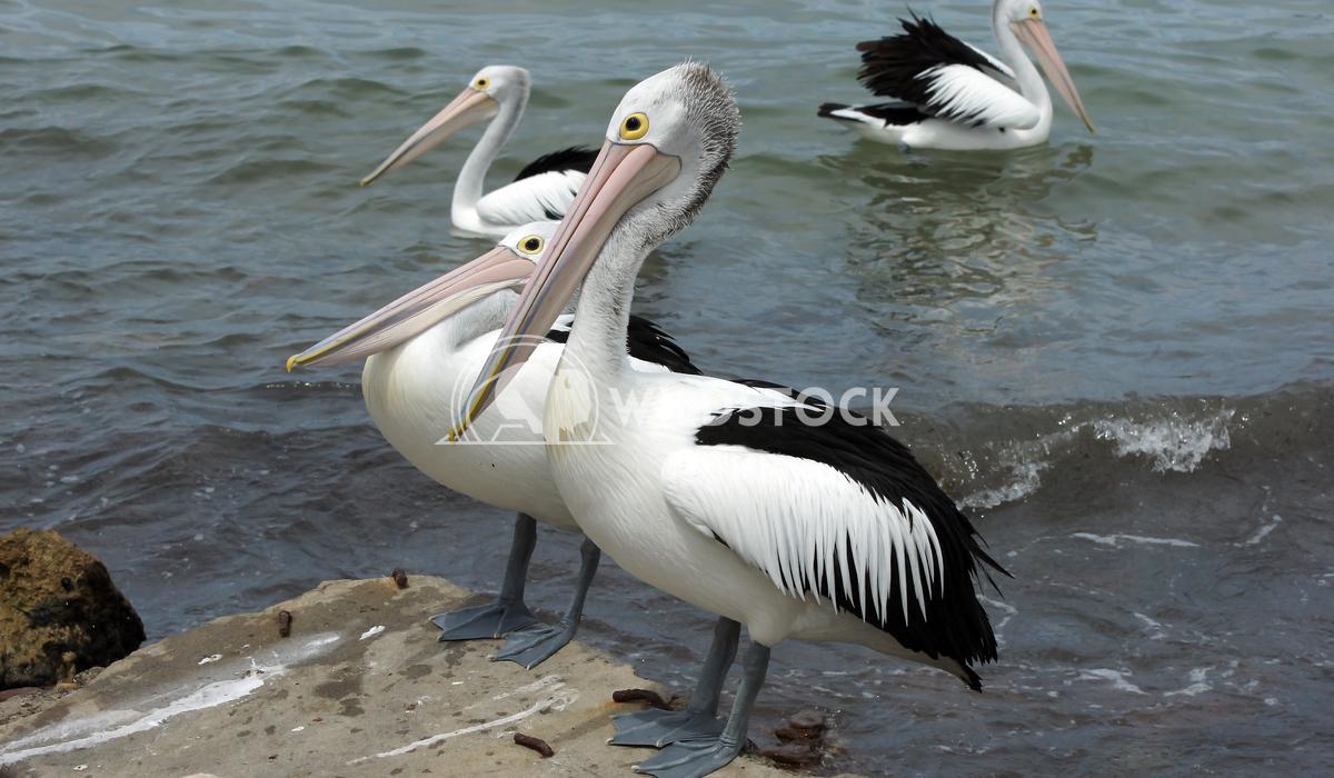 Australian Pelican (Pelecanus conspicillatus) 7 Alexander Ludwig Australian Pelican (Pelecanus conspicillatus), photo wa