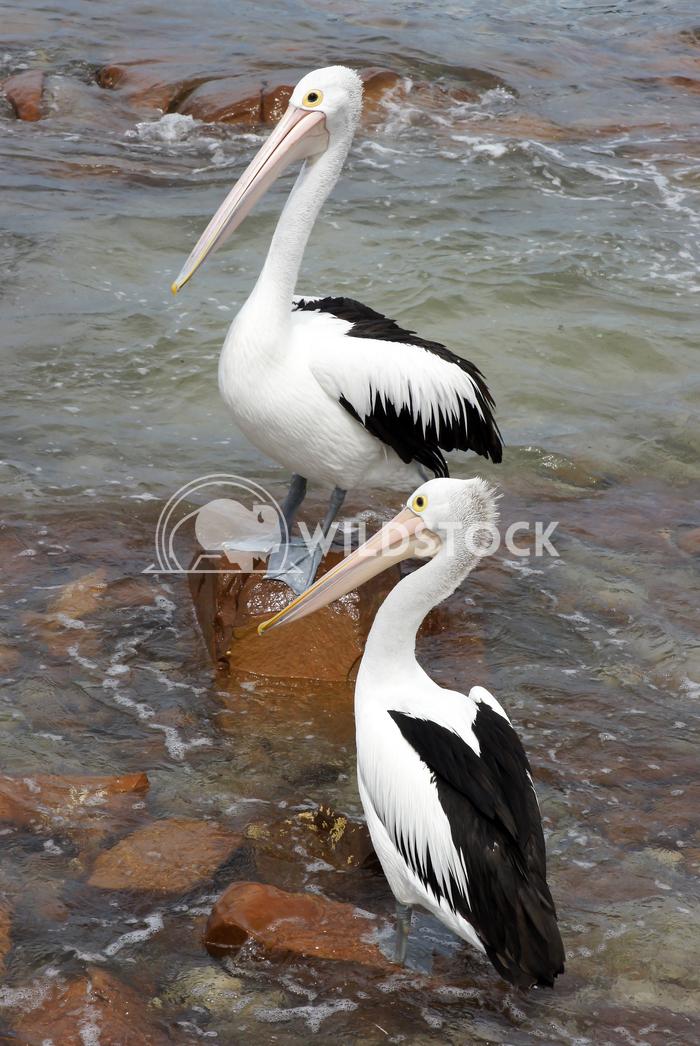 Australian Pelican (Pelecanus conspicillatus) 8 Alexander Ludwig Australian Pelican (Pelecanus conspicillatus), photo wa