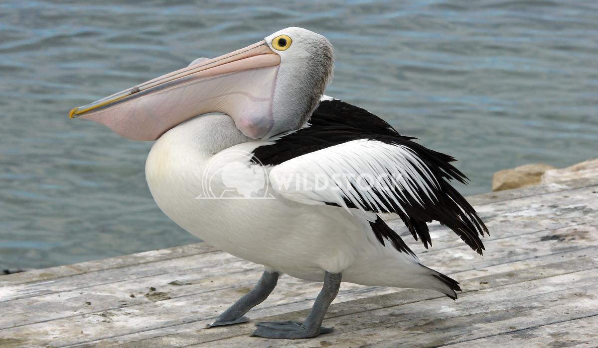 Australian Pelican (Pelecanus conspicillatus) 9 Alexander Ludwig Australian Pelican (Pelecanus conspicillatus), photo wa
