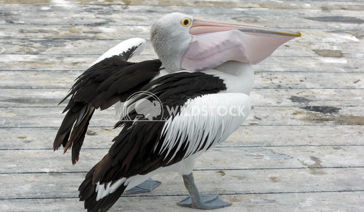 Australian Pelican (Pelecanus conspicillatus) 10 Alexander Ludwig Australian Pelican (Pelecanus conspicillatus), photo w