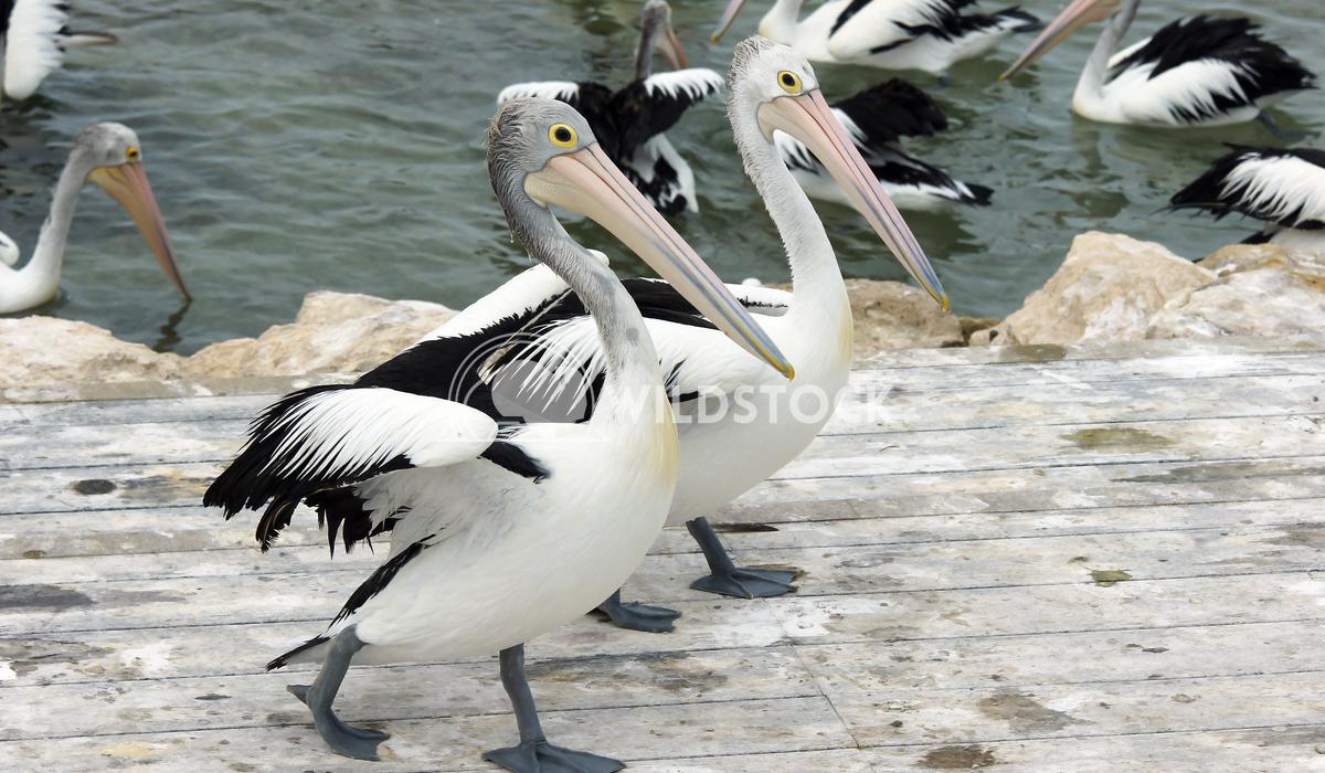 Australian Pelican (Pelecanus conspicillatus) 11 Alexander Ludwig Australian Pelican (Pelecanus conspicillatus), photo w