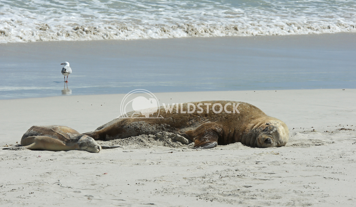 Australian Sea Lion (Neophoca cinerea) 1 Alexander Ludwig Australian Sea Lion (Neophoca cinerea), photo was taken on Sea