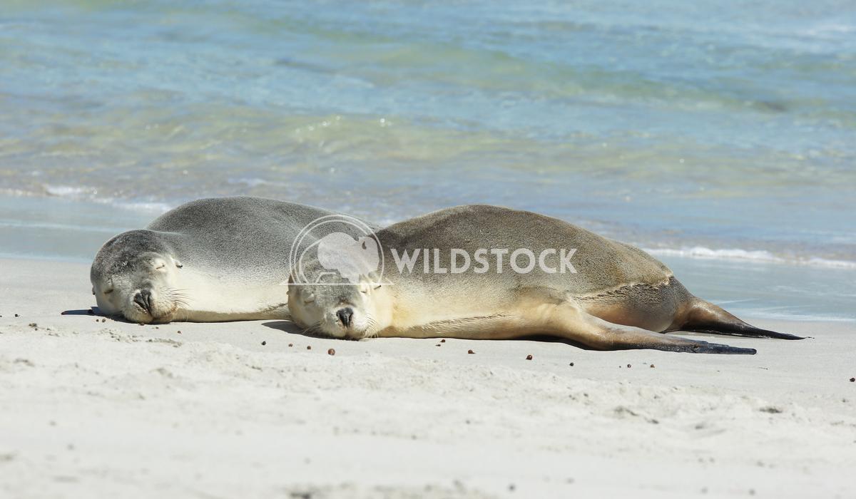 Australian Sea Lion (Neophoca cinerea) 2 Alexander Ludwig Australian Sea Lion (Neophoca cinerea), photo was taken on Sea
