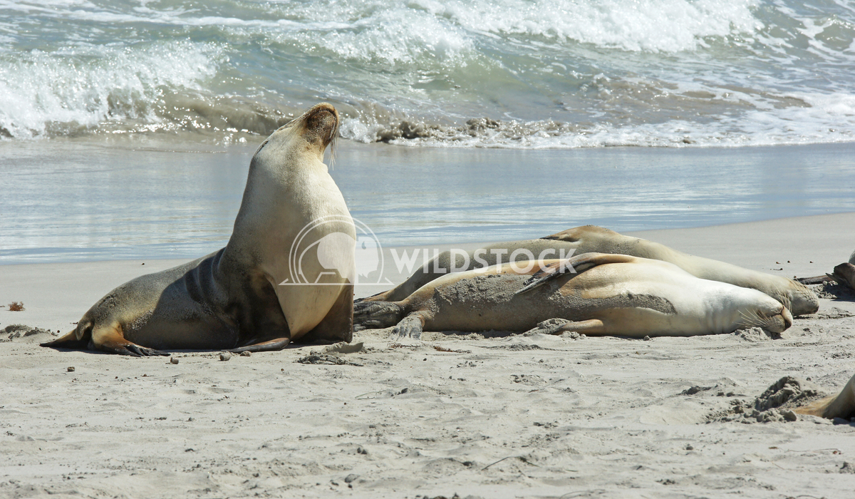 Australian Sea Lion (Neophoca cinerea) 3 Alexander Ludwig Australian Sea Lion (Neophoca cinerea), photo was taken on Sea