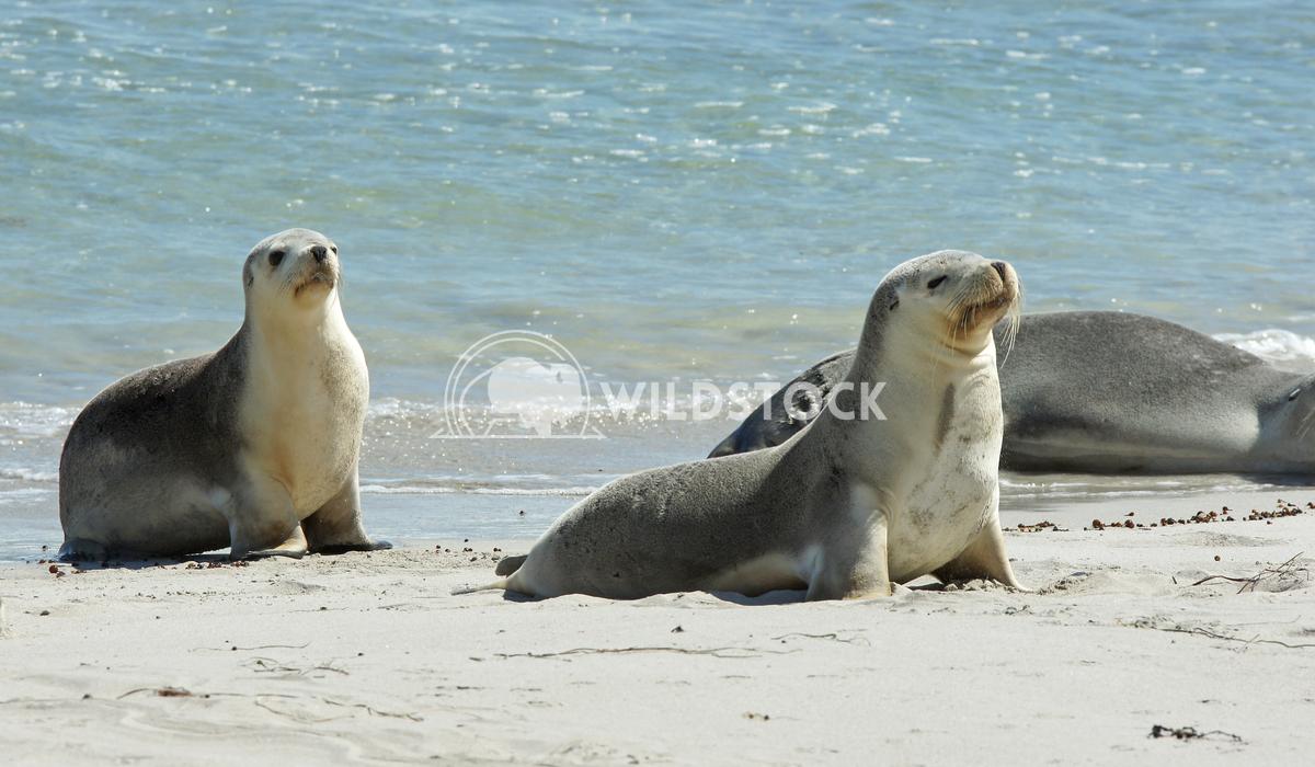 Australian Sea Lion (Neophoca cinerea) 4 Alexander Ludwig Australian Sea Lion (Neophoca cinerea), photo was taken on Sea