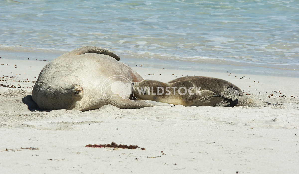 Australian Sea Lion (Neophoca cinerea) 7 Alexander Ludwig Australian Sea Lion (Neophoca cinerea), photo was taken on Sea