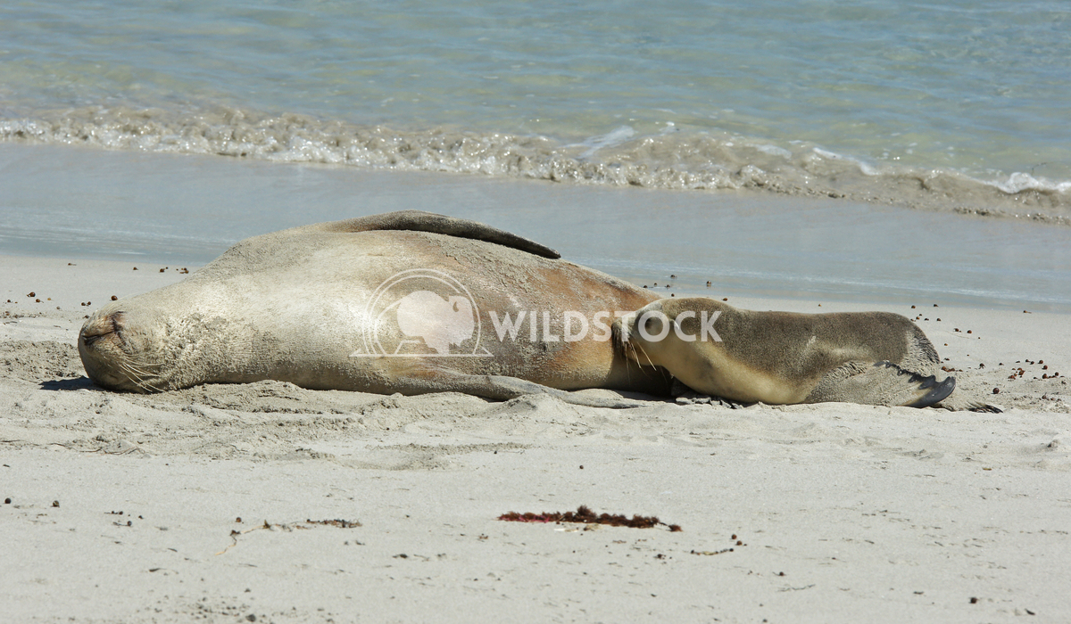 Australian Sea Lion (Neophoca cinerea) 8 Alexander Ludwig Australian Sea Lion (Neophoca cinerea), photo was taken on Sea