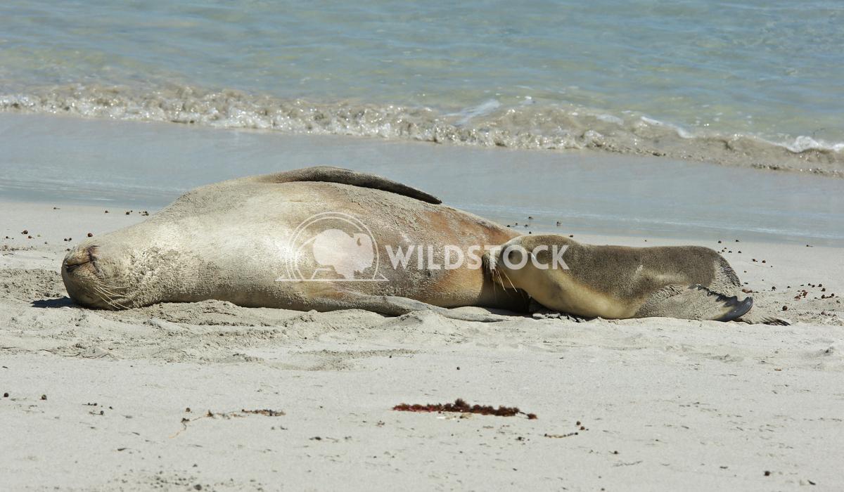 Australian Sea Lion (Neophoca cinerea) 8 Alexander Ludwig Australian Sea Lion (Neophoca cinerea), photo was taken on Sea