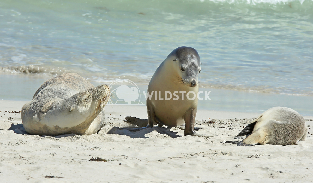 Australian Sea Lion (Neophoca cinerea) 10 Alexander Ludwig Australian Sea Lion (Neophoca cinerea), photo was taken on Se