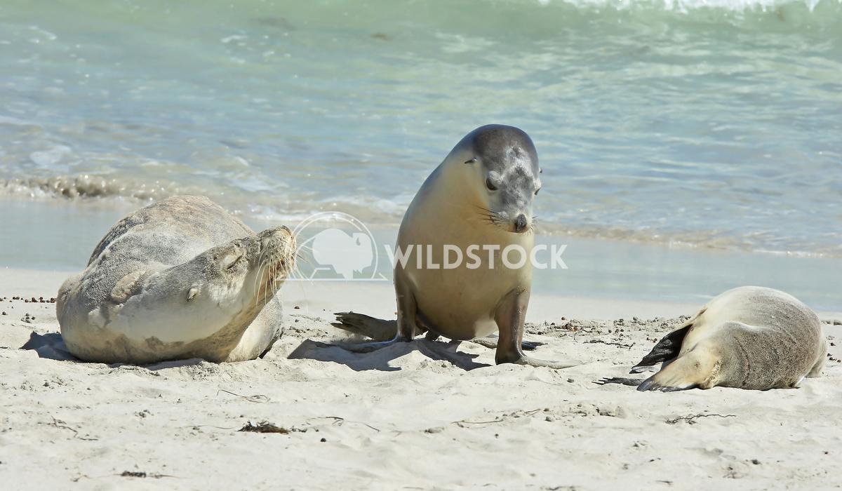 Australian Sea Lion (Neophoca cinerea) 10 Alexander Ludwig Australian Sea Lion (Neophoca cinerea), photo was taken on Se
