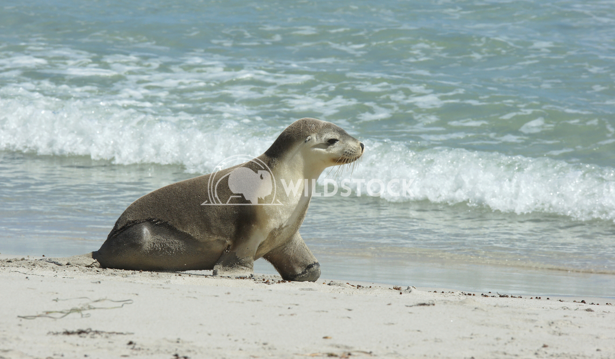Australian Sea Lion (Neophoca cinerea) 13 Alexander Ludwig Australian Sea Lion (Neophoca cinerea), photo was taken on Se
