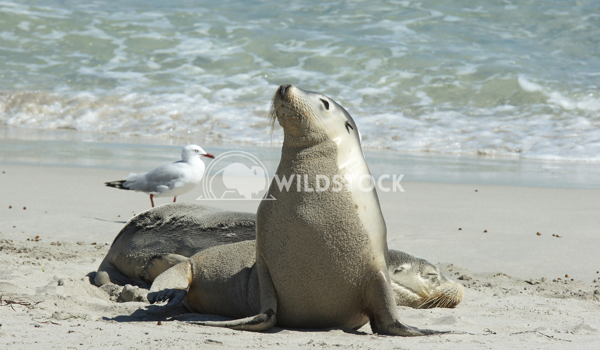 Australian Sea Lion (Neophoca cinerea) 15 Alexander Ludwig Australian Sea Lion (Neophoca cinerea), photo was taken on Se