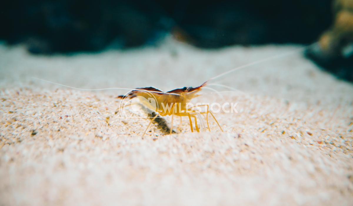 Underwater Closeup Of Shrimp Radu Bercan Underwater Closeup Of Shrimp