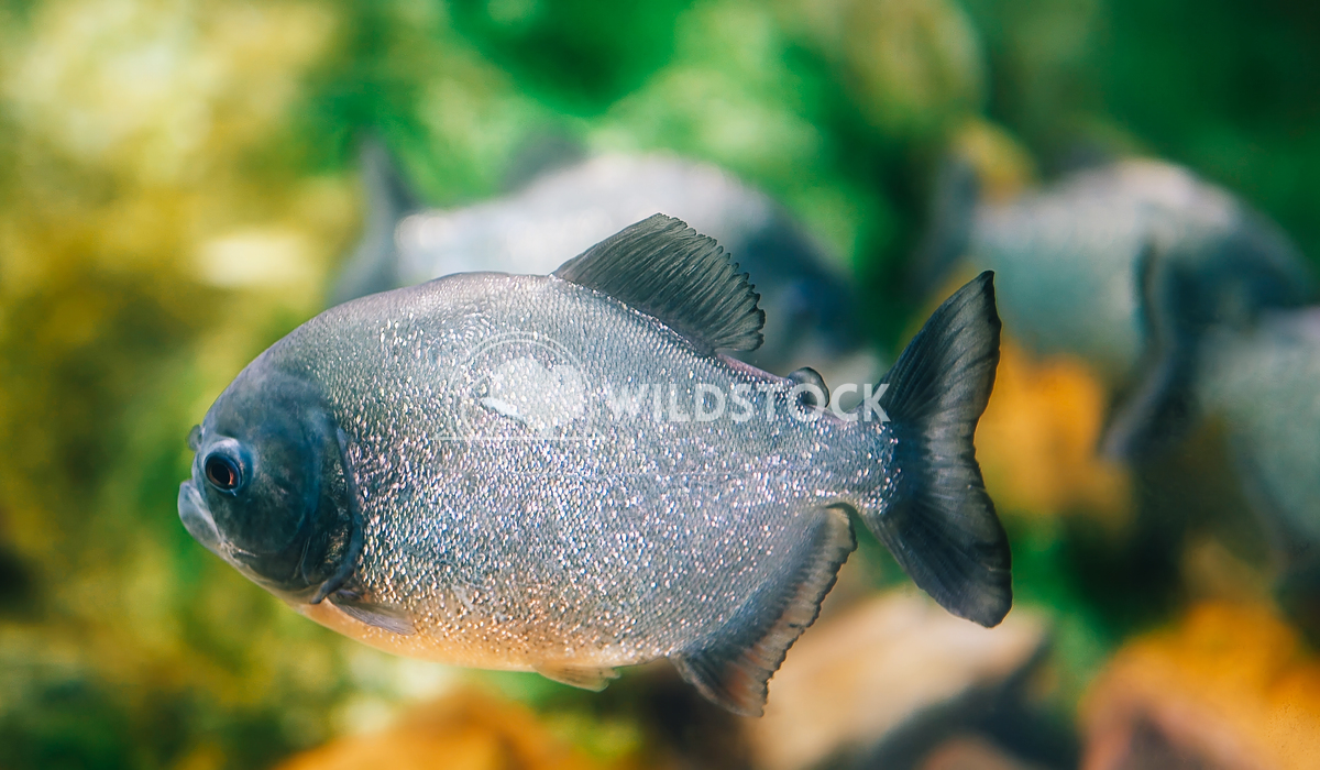 Underwater Closeup Of Piranha Fish Radu Bercan Underwater Closeup Of Piranha Fish