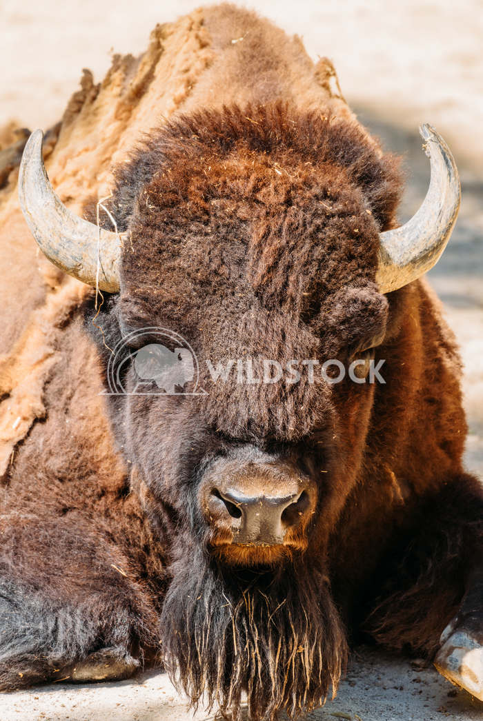 Wild Horned Bull Portrait Close Up Radu Bercan Wild Horned Bull Portrait Close Up