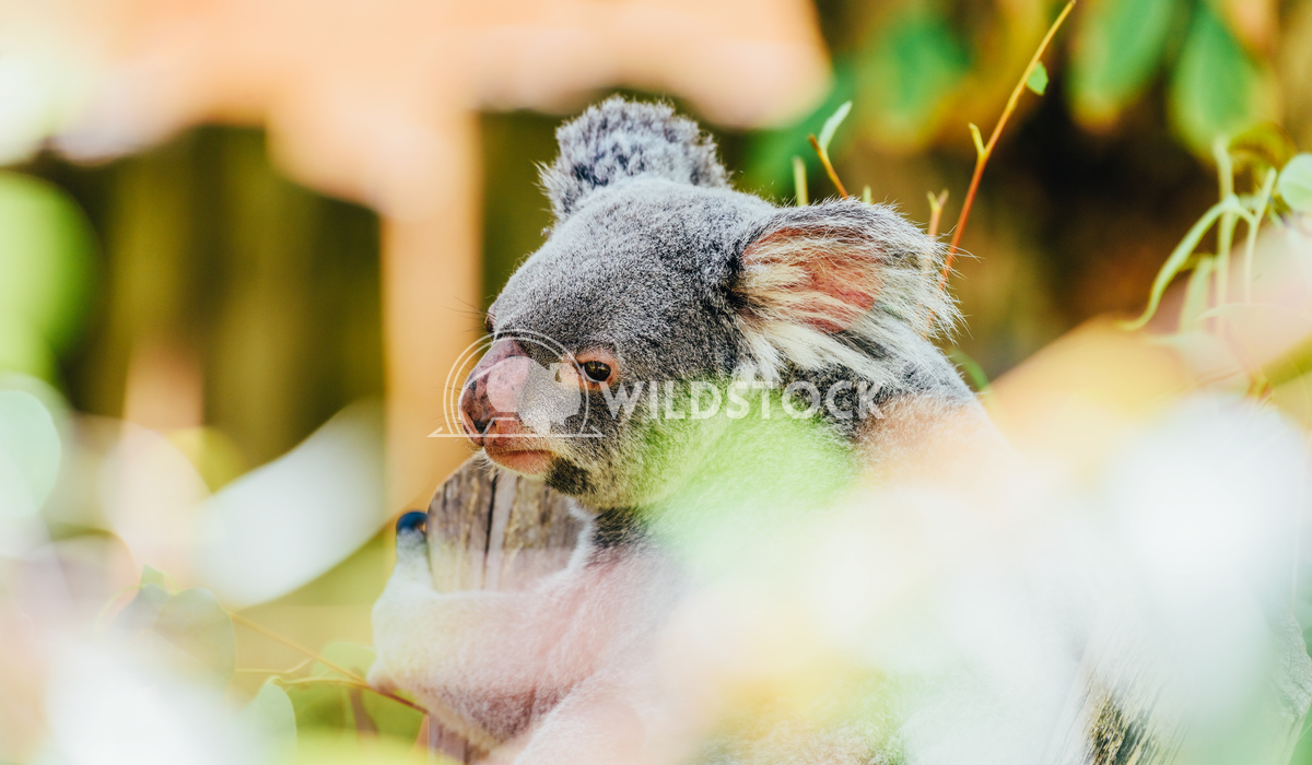 Cute Koala Bear Portrait In Tree Radu Bercan Cute Koala Bear Portrait In Tree