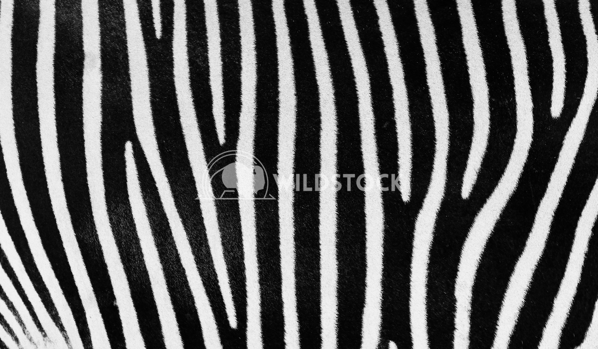 Black And White Zebra Skin Texture Radu Bercan Black And White Zebra Skin Texture